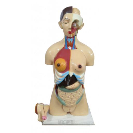 Human Torso With Interchangeable Sex Organs