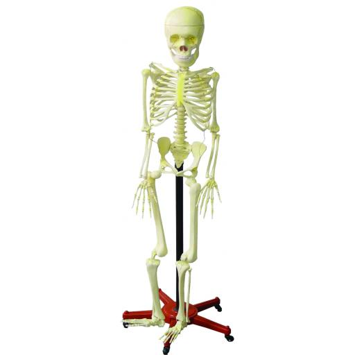 Human Skeleton With Stand (height 5 foot)
