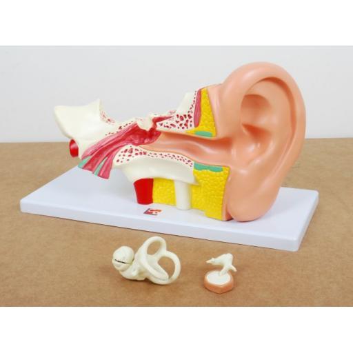 Human Ear 4x Life Size