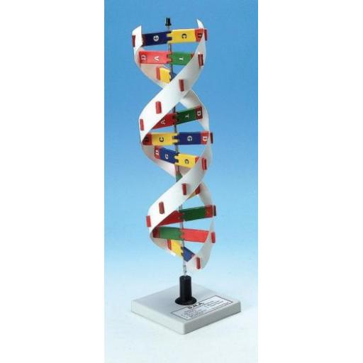 DNA CONSTRUCTION MODEL