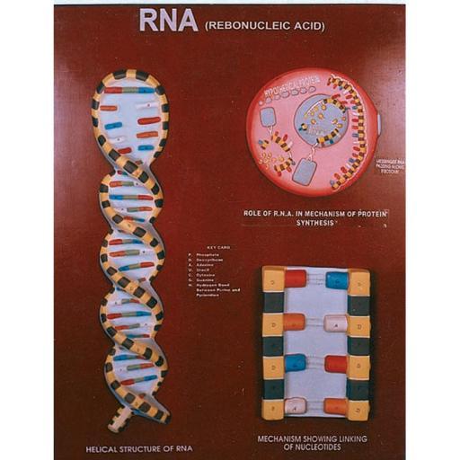 MODEL OF RNA